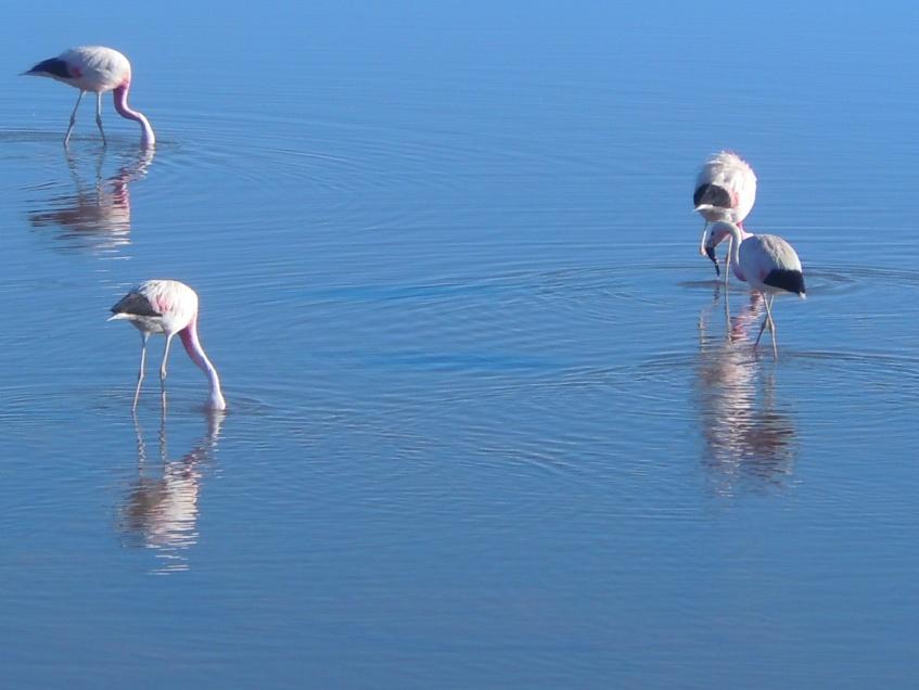 Flamingos nas Lagoas Altiplanicas, Bolívia